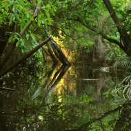 Amazon: Mangroves