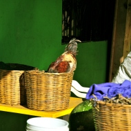 A cheeky chicken in Chiapas checks out the corn-filled basket for treats.