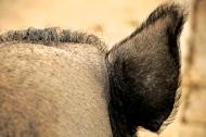 Hairy Pigs in Mudchute Farm